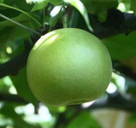 【ふるさと納税】259 二十世紀梨(ご家庭用(3キロ)やぶやフルーツガーデン)鳥取 フルーツ 果物 ジューシー 梨 なし ナシ 送料無料