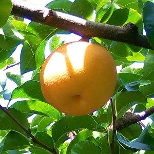 【ふるさと納税】282 新興梨(ご家庭用)フルーツ 果物  梨 なし ナシ 送料無料