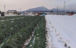 【ふるさと納税】MS-27 (訳あり)大雪で葉先が折れてしまった大山町産白ねぎ4kg詰め合わせ