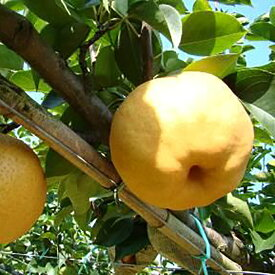 【ふるさと納税】あたご梨(5kg箱)<2020年収穫分・早期予約>