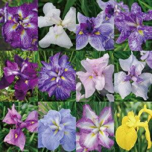 【ふるさと納税】石照庭園 花しょうぶ品種見計らい12株