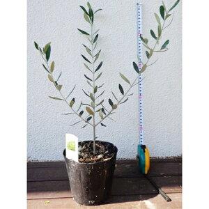【ふるさと納税】オリーブの苗木4本セット 【植物】 お届け:2021年9月21日〜 順次出荷