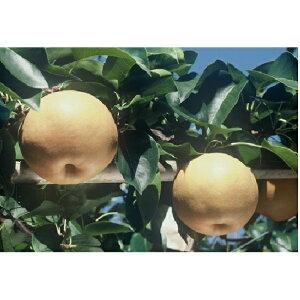 【ふるさと納税】新高梨(にいたかなし)3〜4玉 【梨・ナシ・果物・フルーツ・果物類】 お届け:2019年10月下旬〜2019年11月下旬