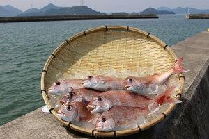 【ふるさと納税】B100 瀬戸内 獲れたて天然真鯛【鮮魚 1.6〜1.8kg】