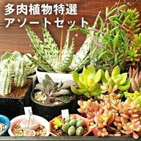 【ふるさと納税】多肉植物特選アソートセット 【花・苗木・多肉・多肉植物】