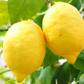【ふるさと納税】〈12〜3月発送〉広島 大崎上島産 有機栽培の完熟レモン 約3kg