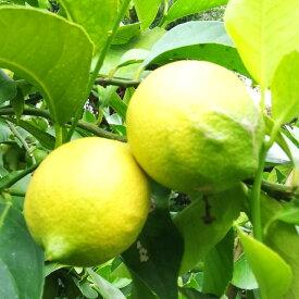 【ふるさと納税】〈12月~3月発送〉有機JAS認証!大崎上島のオーガニック完熟レモン約3kg