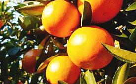 【ふるさと納税】特選 袋かけセミノールオレンジ 【みかん・柑橘類・フルーツ・果物】 お届け:2020年4月下旬〜5月中旬まで