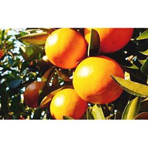 【ふるさと納税】特選 袋かけセミノールオレンジ 【みかん・柑橘類・フルーツ・果物 】 お届け:2020年4月下旬〜5月中旬
