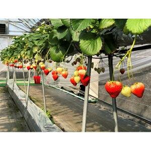 【ふるさと納税】【2月以降発送】いちご「さぬきひめ」2kg 【果物類/いちご/苺/イチゴ/フルーツ 】 お届け:2020年2月上旬〜5月下旬