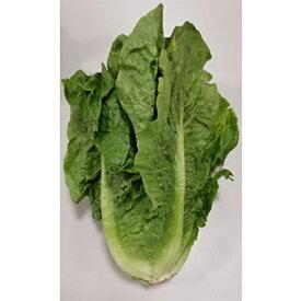 【ふるさと納税】シャキシャキ食感! ロメインレタス 約5kg 【野菜・野菜セット】 お届け:2021年1月中旬〜2021年5月中旬