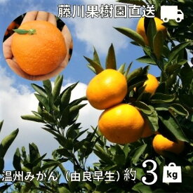 【ふるさと納税】農園直送 高糖度温州みかん(由良早生)約3kg 【果物類・みかん・柑橘類・ミカン・フルーツ・温州みかん・約3kg】 お届け:2021年10月上旬〜11月上旬
