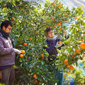 【ふるさと納税】太陽の果実 じゅらす農房のブラッドオレンジ(タロッコ)4kg【1043985】