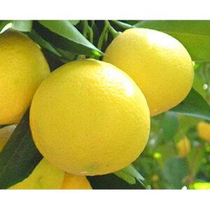 【ふるさと納税】ニューサマーオレンジ 約7kg(ご家庭用)【1103591】