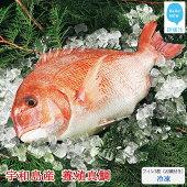 【ふるさと納税】高級養殖魚愛媛県産養殖真鯛フィレ2枚(お頭付き・冷凍)