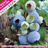 【ふるさと納税】旬にお届け!無農薬栽培完熟生ブルーベリー800g、完熟手作りブルーベリージャム4瓶セット