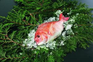 【ふるさと納税】愛媛県産養殖真鯛フィレ2枚(お頭付き冷凍)※12月は配送不可