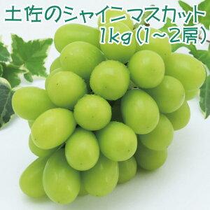 【9月発送】土佐のシャインマスカット 1kg【土佐グルメ市場(土佐市)】