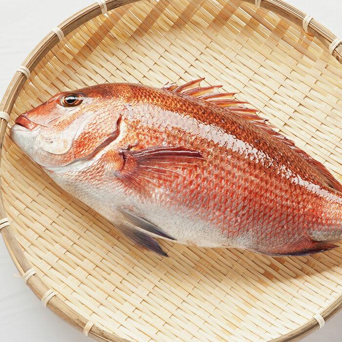 【ふるさと納税】本場須崎のブランド鯛「乙女鯛セット」食べやすいフィーレ加工