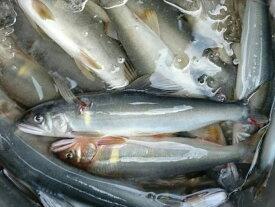 【ふるさと納税】(0222401) 鮎屋仁淀川の友釣り天然鮎500g(5-14尾)※令和3年6月10日頃より発送開始