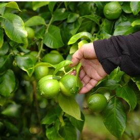 【ふるさと納税】爽やかな香りのグリーンレモン 1.2kg