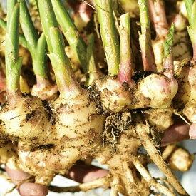 【ふるさと納税】[1243]自然の恵みいっぱいに栽培したしょうが 700g(高知県黒潮町産)