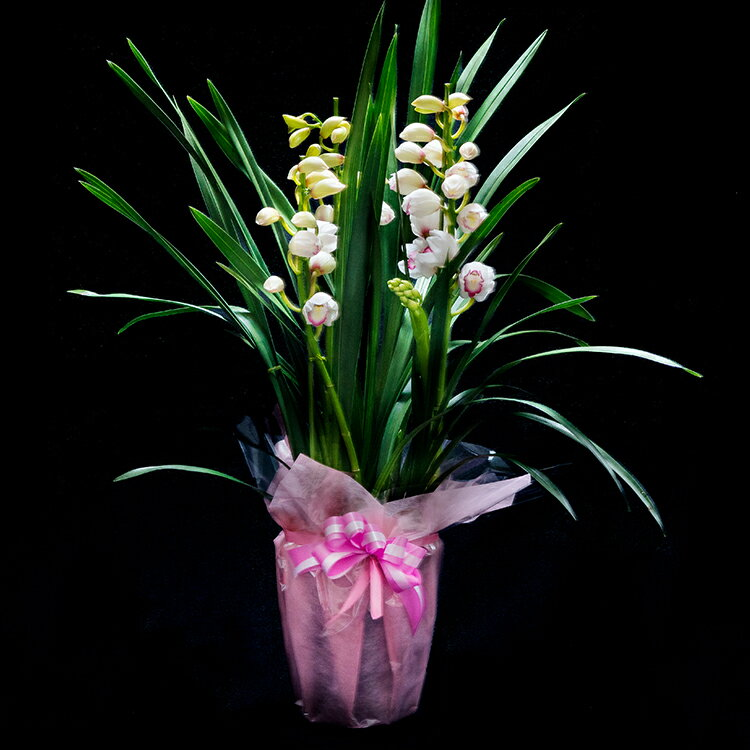 【ふるさと納税】洋ラン(17,000円コース) 草場農園 贈りもの お祝い お返し プレゼント に 鉢花
