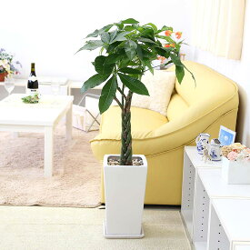 【ふるさと納税】◆風水にも良い観葉植物。パキラ 7号 ホワイト陶器鉢 ストレート【※北海道・沖縄・離島のお届け不可】