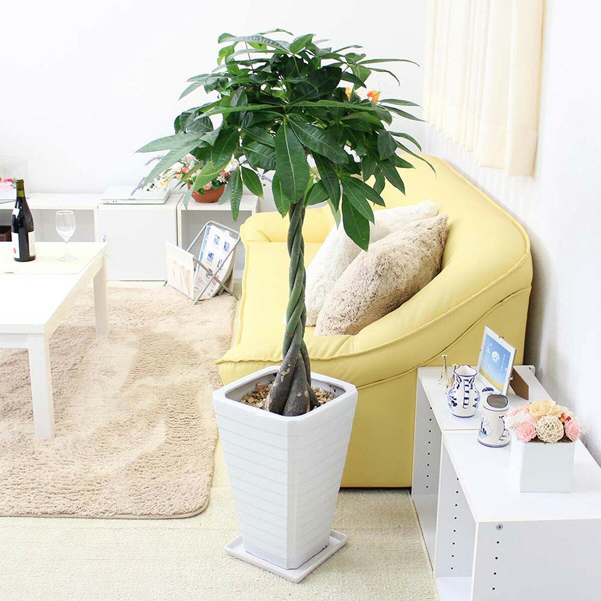 【ふるさと納税】風水にも良い観葉植物。パキラ 8号 ホワイト陶器鉢 G【※北海道・沖縄・離島のお届け不可】
