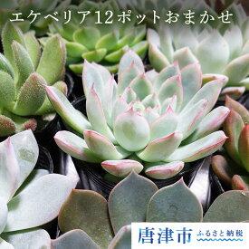 【ふるさと納税】多肉植物エケベリア12ポットおまかせセット