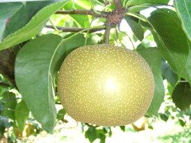 b-76 果物が苦手な人でも食べちゃうほどの美味しさ!多久産の梨(幸水5kg)は数量限定です!