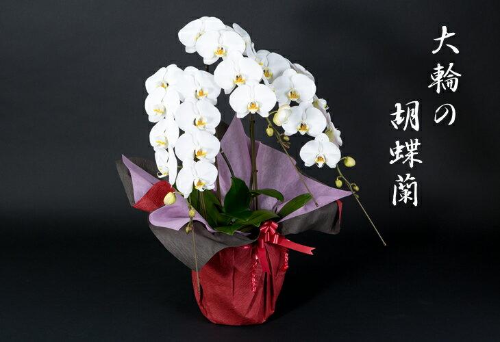 【ふるさと納税】D-4 華麗!「胡蝶蘭」3本立て