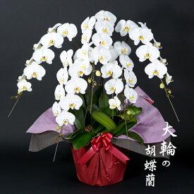 【ふるさと納税】 大輪胡蝶蘭(5本立)