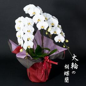【ふるさと納税】大輪胡蝶蘭(3本立)産地直送便