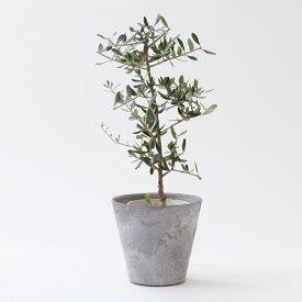 【ふるさと納税】観葉植物「オリーブ」【お部屋のアクセントに♪】