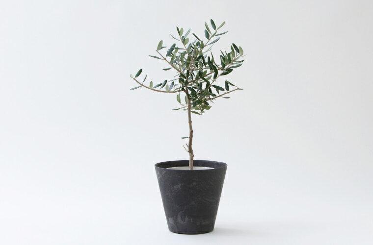【ふるさと納税】観葉植物「オリーブ」