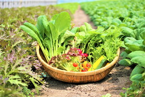 【ふるさと納税】オーガニック葉物野菜セット【植物性で育てた完全無農薬の葉野菜ブランド有機JAS】(CQ001)