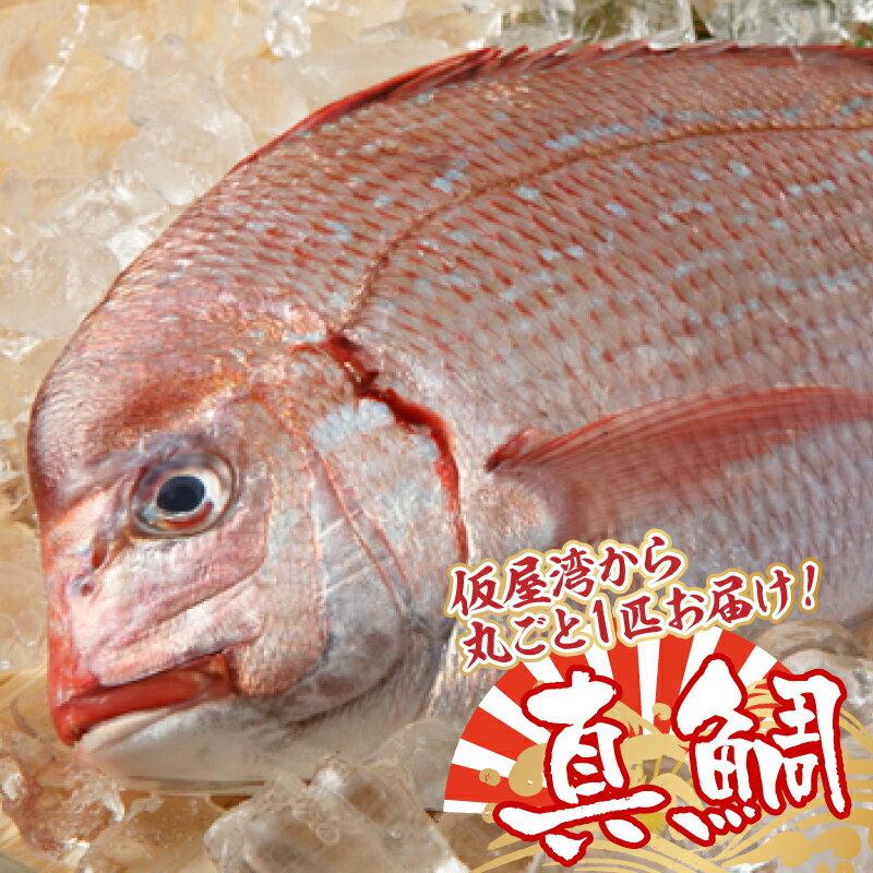 【ふるさと納税】仮屋湾の真鯛