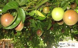 【ふるさと納税】パッションフルーツ 1年生苗 5本 セット 菜園 ポット植え 直径11cm 植物 フルーツ 果実 長崎県 九州 送料無料