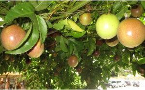 【ふるさと納税】パッションフルーツ 菜園 2年生苗 直径20cm キット ポット植え カーテン 多年草 栽培 植物 15号 送料無料