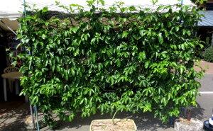 【ふるさと納税】パッションフルーツ 移動式緑化 大 植物 家庭菜園 カーテン 幅2.5cm×高さ2m プランター植え 長崎県 九州 送料無料