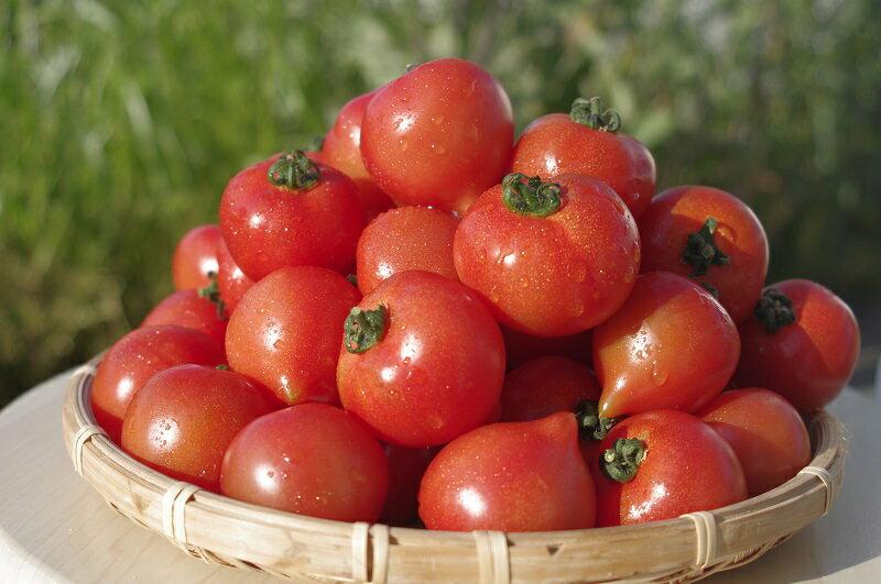 【ふるさと納税】期間限定 大切に育てたフルティカトマト1.2kg