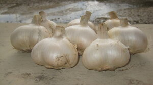 【ふるさと納税】 無農薬 ジャンボニンニク1.5kg