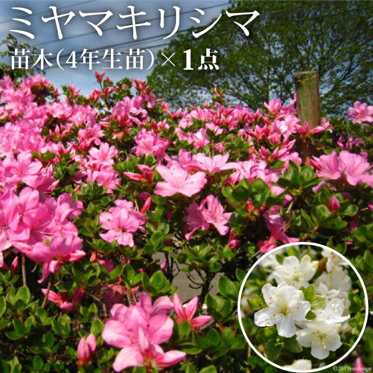 【ふるさと納税】ミヤマキリシマ(雲仙ツツジ)苗木(4年生苗)×1点