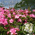 【ふるさと納税】ミヤマキリシマ(雲仙ツツジ)苗木(4年生苗)×3点