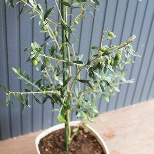 【ふるさと納税】オリーブツリー 1鉢 28型 約120cm 育成ガイドブック付き オリーブ 苗木 植物 熊本県産 送料無料