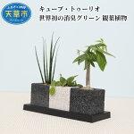 【ふるさと納税】キューブ・トゥーリオ世界初の消臭グリーン観葉植物