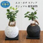 【ふるさと納税】エコ・ポチスフィアガジュマル観葉植物