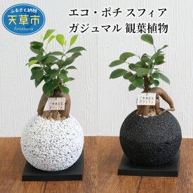 【ふるさと納税】エコ・ポチ スフィア ガジュマル 観葉植物