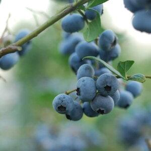 【ふるさと納税】山都町産生果ブルーベリー6個セット(125g×6個) 【果物詰合せ・フルーツ】 お届け:2020年6月15日〜2020年8月30日